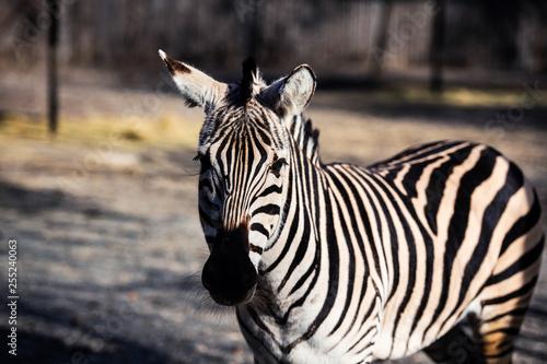 Zebra portrait outdoor