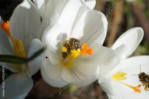Makroaufnahme einer Biene beim Pollen sammeln auf einem weissen Krokus