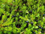 Berries  crowberry  (Empetrum nigrum L.)