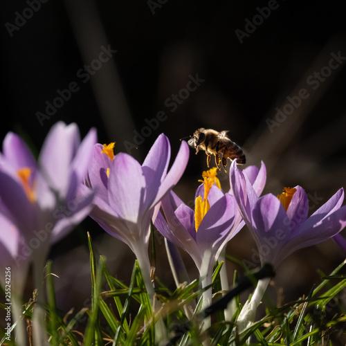 Biene und Krokusblüte