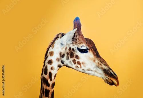 giraffe on a yellow background