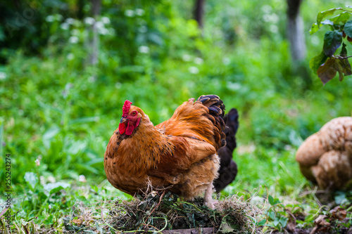 Red Rooster. Cock, rustic rural picture in sunny day. - 255243274