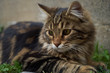 Portrait of domestic fluffy kitten maine coon cat lies on street, close-up