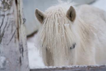 冬の道産子 © makieni