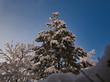 Leinwanddruck Bild - Verschneiter Baum am Morgen bei Sonnenschein