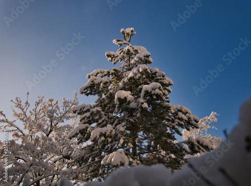 Leinwanddruck Bild Verschneiter Baum am Morgen bei Sonnenschein
