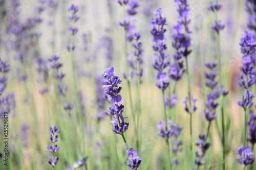 Lavender field - 255296679