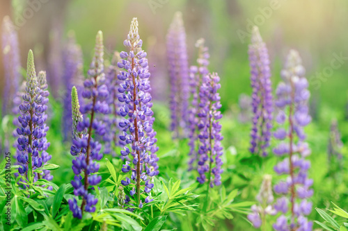 purple lupins in nature  - 255303675