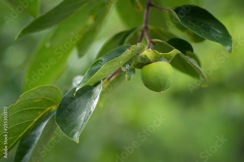 young persimmon weighs on a tree - 255303870