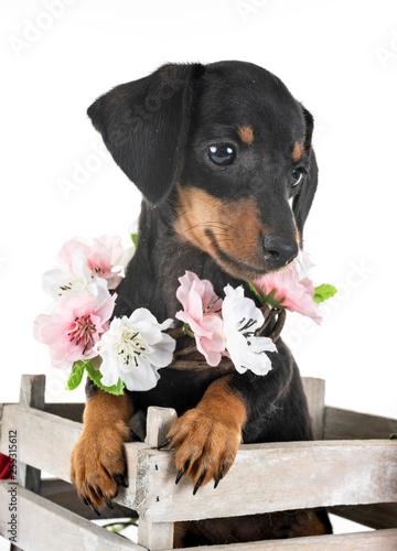 fototapeta na ścianę puppy miniature dachshund