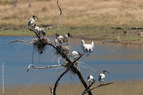 Ibis sacré,.Threskiornis aethiopicus, African Sacred Ibis