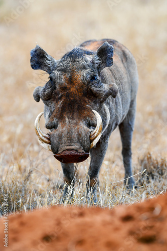 warthog in the savannah of africa
