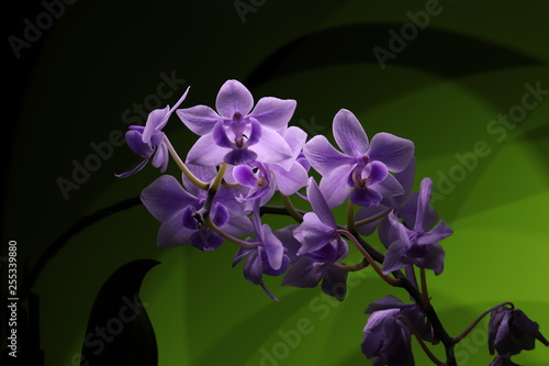 White-violet phalaenopsis orchid on green background lights. - 255339880