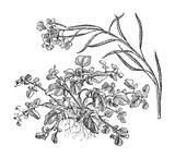 Watercress (Nasturtium officinale) - vegetable / vintage illustration from Meyers Konversations-Lexikon 1897