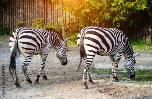 Portrait of zebra - 255368088