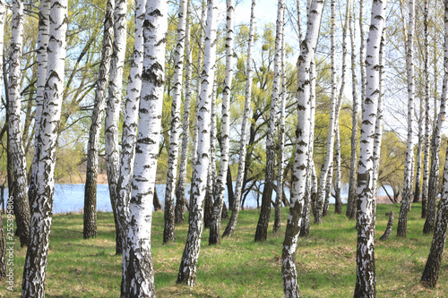 Young birch with black and white birch bark in spring in birch grove against the background of other birches - 255395806