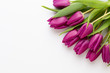 Spring Pink tulips on white background.