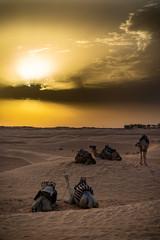camellos en el desierto africano  de Tunez © jjmillan