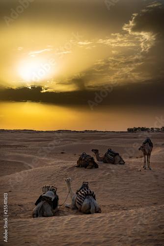 camellos en el desierto africano de Tunez