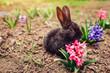 Little black baby rabbit sitting among spring flowers in garden. Easter concept - 255413476