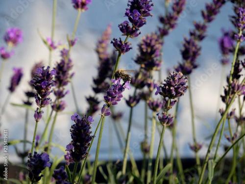 Bee on lavender  - 255419631