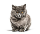 British shorthair, 5 months old, in front of white background