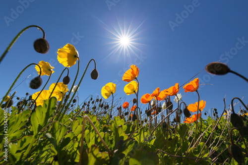 Wonderful Icelandic poppies or Papaver Nudicaule - 255426481