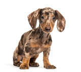 Dachshund, sausage dog, 4 months olds, sitting in front of white