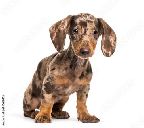 Leinwanddruck Bild Dachshund, sausage dog, 4 months olds, sitting in front of white