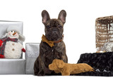 French Bulldog, 4 months old, sitting in front of white backgrou
