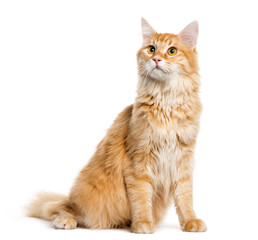 Maine Coon, 8 months old, sitting in front of white background © Eric Isselée