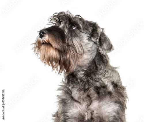 obraz lub plakat Miniature Schnauzer in front of white background