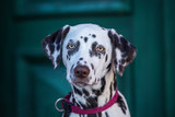 Young dalmatian dog in the front of a house