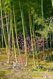 A bamboo forest in Arashiyama in Kyoto, Japan