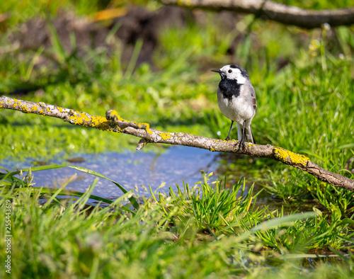 Motacilla alba (Alveola Branca) siting in a branch near water, Povoa de Lanhoso, Portugal.