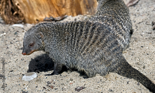 Banded mongoose. Latin name - Mungos mungo