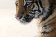 Tiger. Young male Siberian tiger on white snow on a sunny day. Large portrait-looking away.