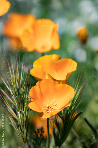 Poppies In A Field - 255485085