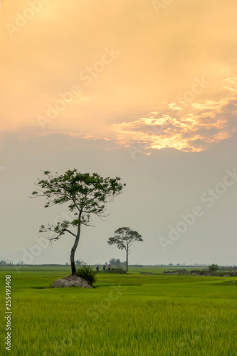 Foto Murales alone tree on the rice field in sunset