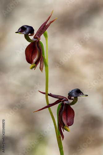 Flying Duck Orchid (Caleana major) - native to Australian wilderness - only approx 20mm long. These tiny orchids attract male sawflies which are tricked into thinking the plants are female sawflies. - 255498870