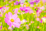 Fototapeta Fototapety kosmos - Cosmos flowers blooming in the garden, Cosmos flower field with blurred background for copy space © orijinal_x