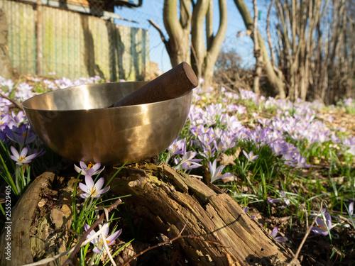 canvas print picture Klangschale steht auf Baumstumpf mit Anschlag Klöppel und wunderschöner Krokus Blumen Wiese im Hintergrund
