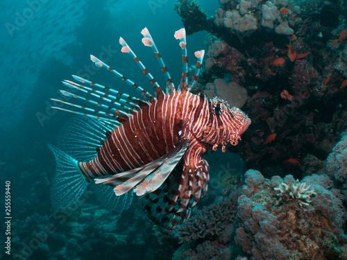 obraz PCV Close-up of a Lionfish