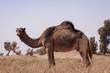 Großes Dromedar in Marokkanischer Wüstenlandschaft