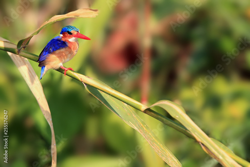 Malachite kingfisher (Corythornis cristatus) sitting on a reed with green background by the river. Small fisherman on the river.
