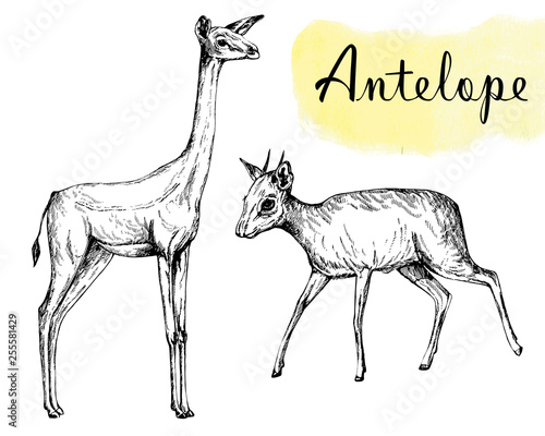 Set of hand drawn sketch style gerenuk and dik-dik isolated on white background. Vector illustration.