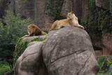 Lioness lying on large boulder dominating male lion resting on smaller rock, with cliff in the background