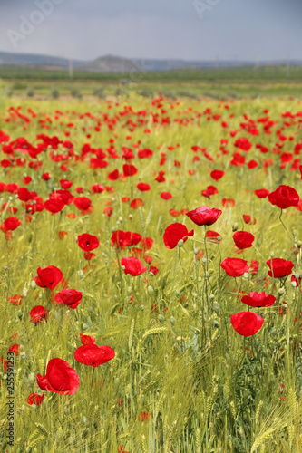 field of poppies - 255591253