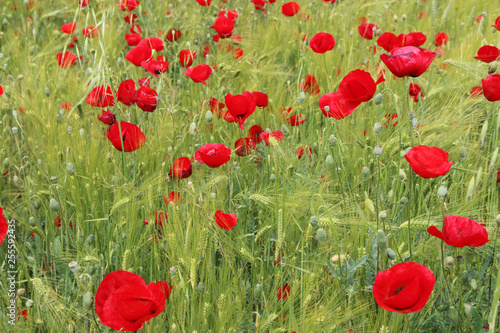 field of poppies - 255592435
