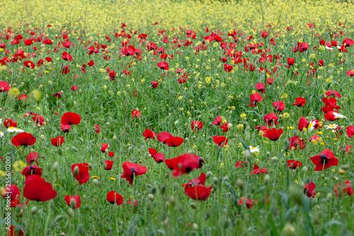 red poppies flower field spring season - 255610200
